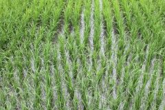Rijstvelden bij Guanshan