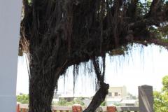 Rare boom bij Anping Fort