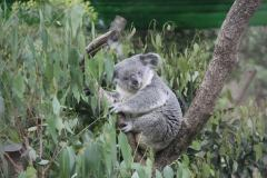 Koala in Taipei Zoo