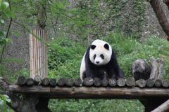 Grote panda in Taipei Zoo